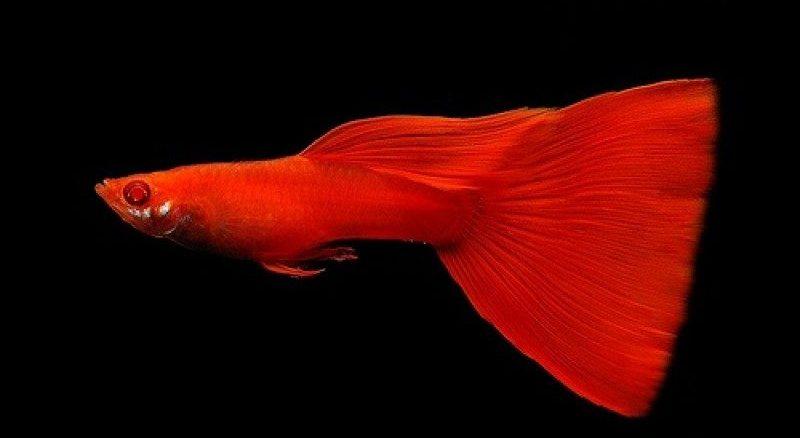 full red lepistes