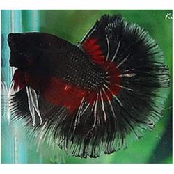 siyah betta balığı