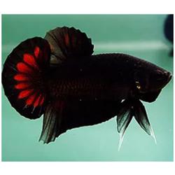 şeytan betta balığı