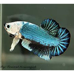 monster beta balığı
