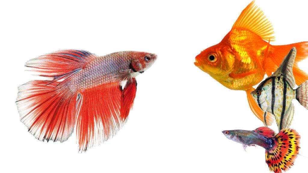 beta ile yaşayan balıklar