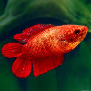 double tail beta balığı fiyat