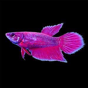Beta Balığı
