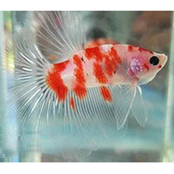 koi beta balığı