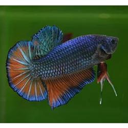 turuncu mavi balığı