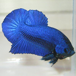 royal blue beta