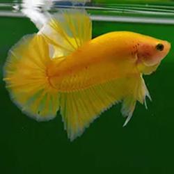 sarı betta balığı