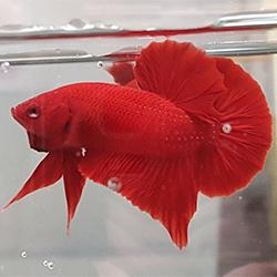 kırmızı halfmoon betta balığı