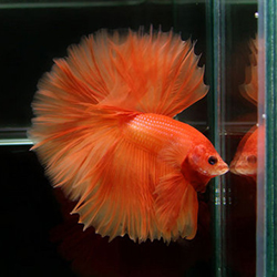 turuncu betta balığı