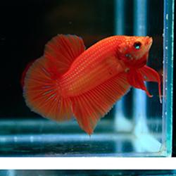 turunculu betta balığı