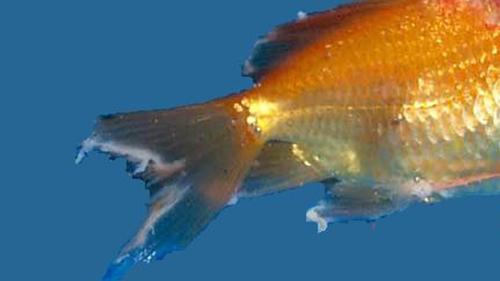 balık hastalıkları kuyruk erimesi