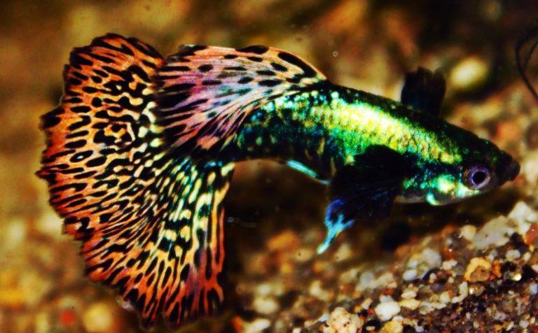 mozaik renk lepistes türleri