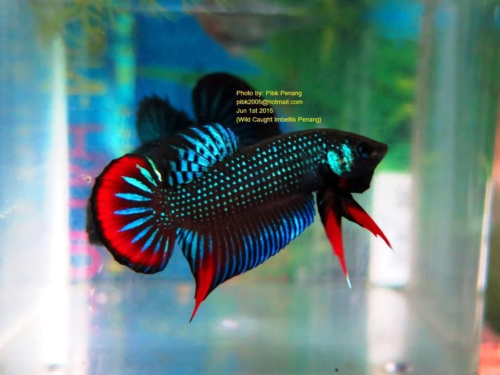 beta balığı renkleri