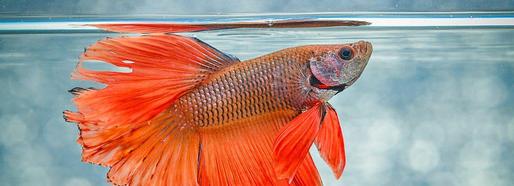 beta balığı bakımı