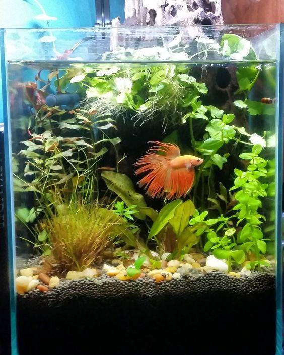 beta balığı akvaryumu nasıl olmalı