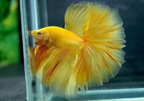 Beta Balığı Davranışları