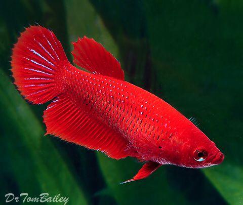 dişi beta balığı cinsiyet ayrımı