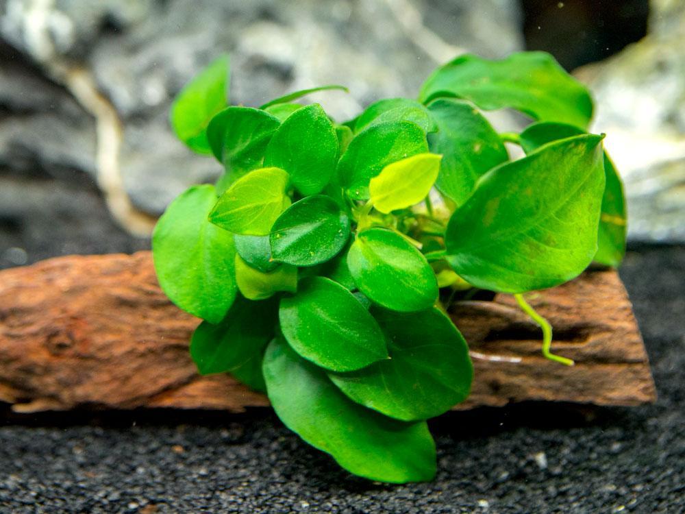 Co2 istemeyen Akvaryum Bitkileri