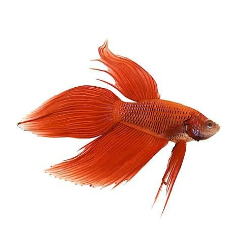 beta balığı akvaryumu