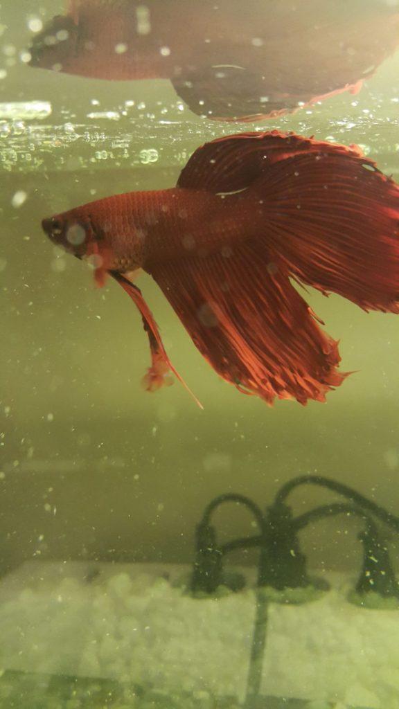 beta balığım yan yatıyor
