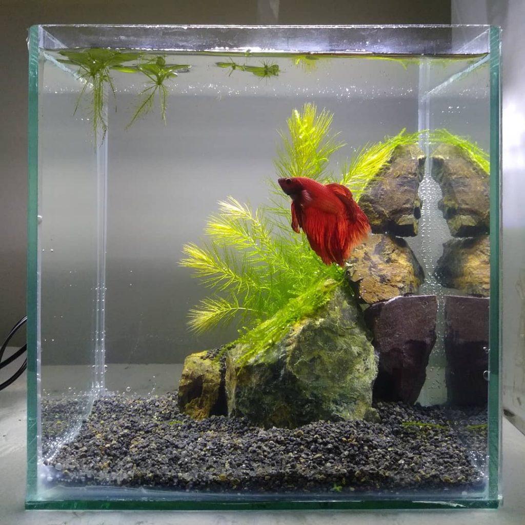 beta balığı tek mi yaşar