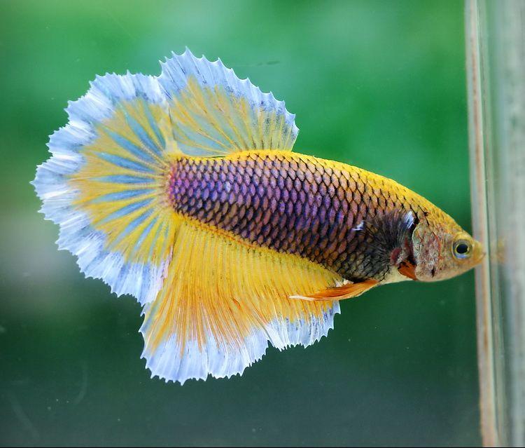 dişi beta balığı