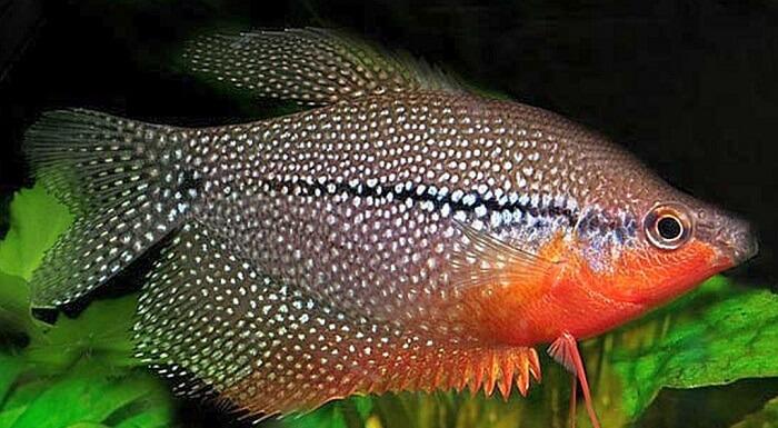 beta balığı fanus