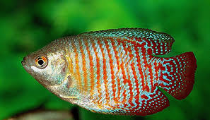 Fanusta hangi balıklar yaşar?