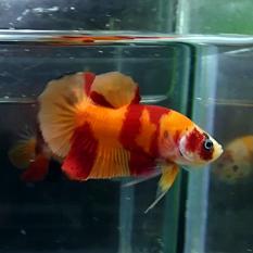Beta balığı nasıl mutlu olur