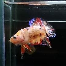 beta balığı fiyat