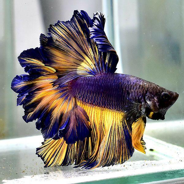 Beta balığı ne kadar yaşar