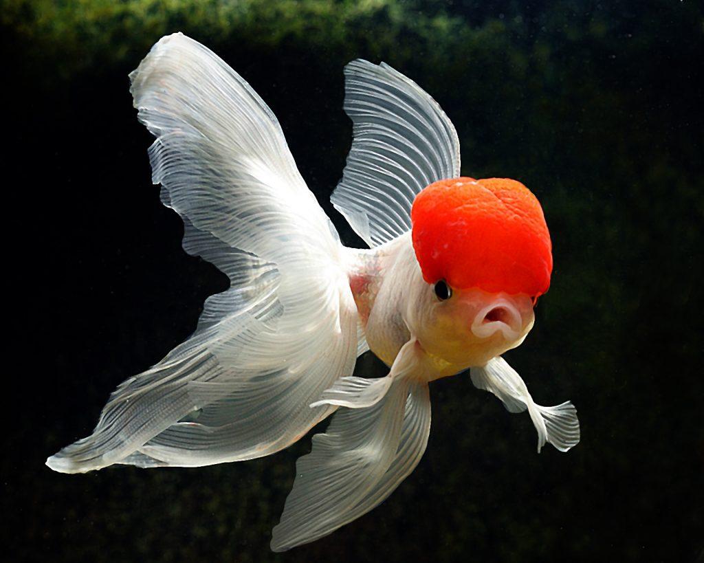 Beta Balığı ile Yaşayan Balıklar